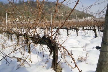 Vineyards covered in snow