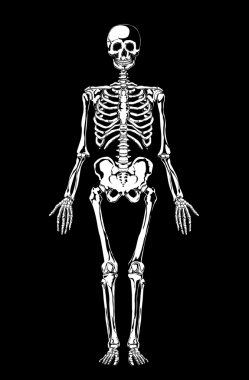 Skeleton. Human anatomy.