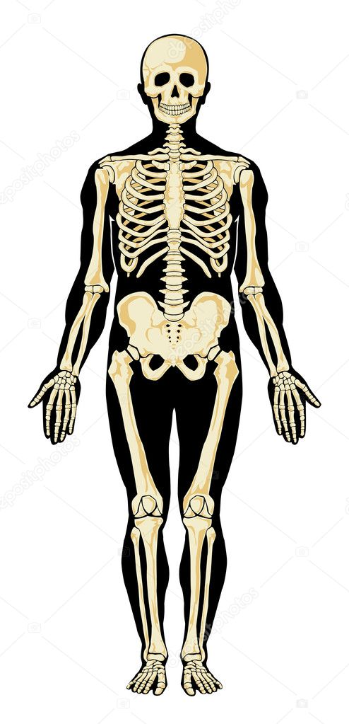 human anatomy. skeleton — stock vector © leopolis #7685970, Skeleton