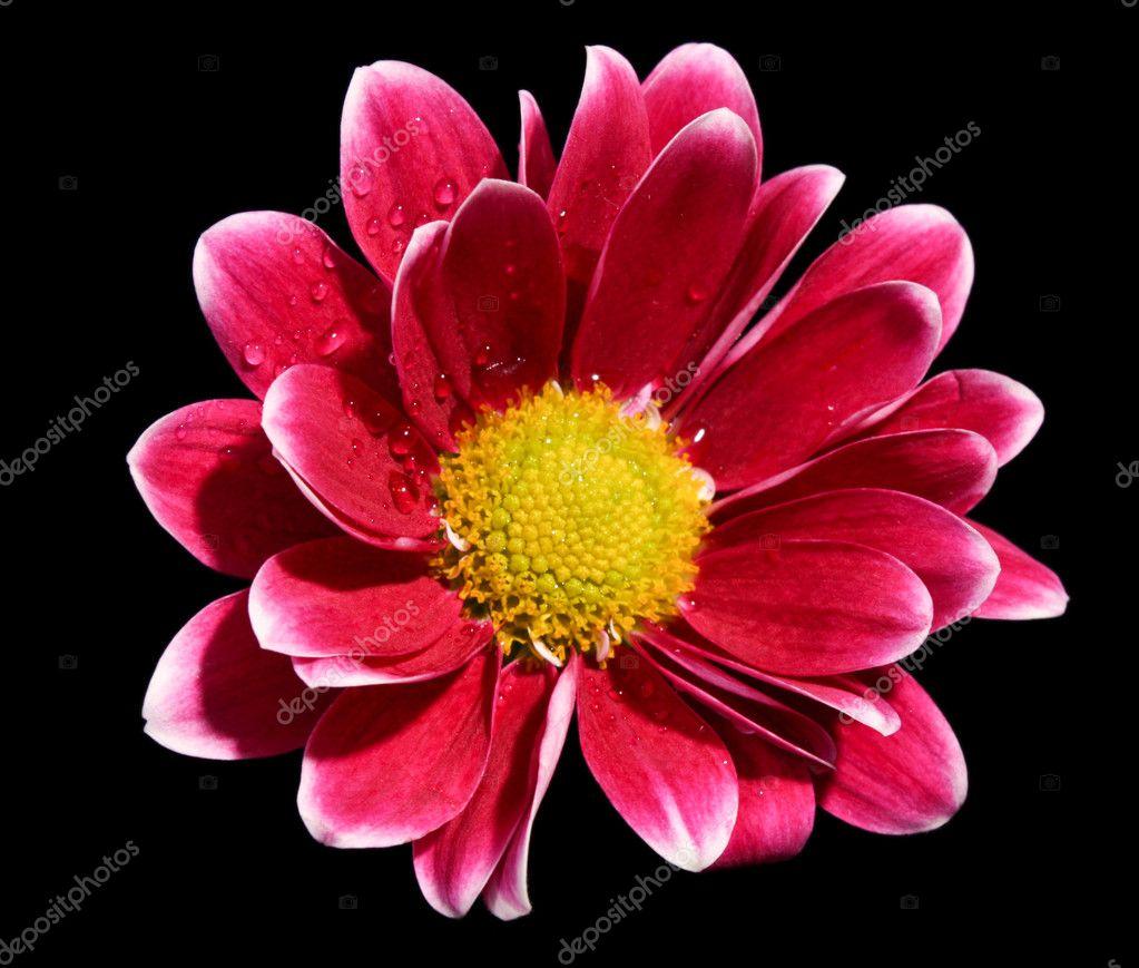 Fiore Rosso Su Sfondo Nero Foto Stock Belchonock 6779639