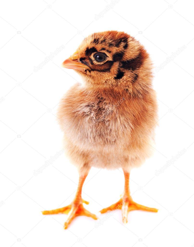 tigre color pequeño pollo aislado en blanco — Foto de stock ...