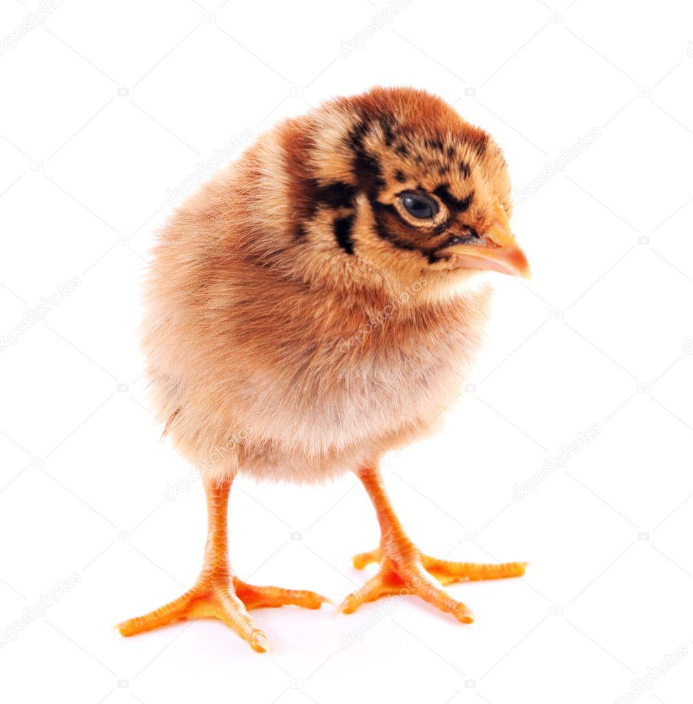 tigre color pequeño pollo aislado en blanco — Fotos de Stock ...