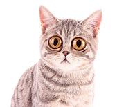 fiatal vicces meglepett elszigetelt fehér macska-closeup