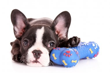 Young bulldog with toy isolated on white