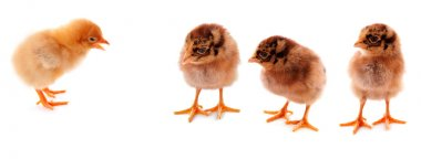 A few baby chicks over a white background