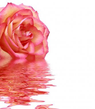 Bright pink rose with reflection