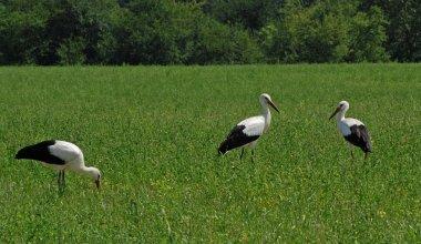 Three storks in the field