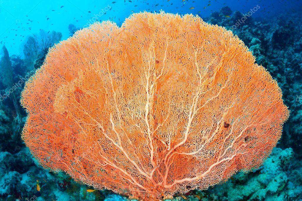 Hicksons fan coral stock photo ssergdibrova 7595044 hicksons fan coral stock photo publicscrutiny Images