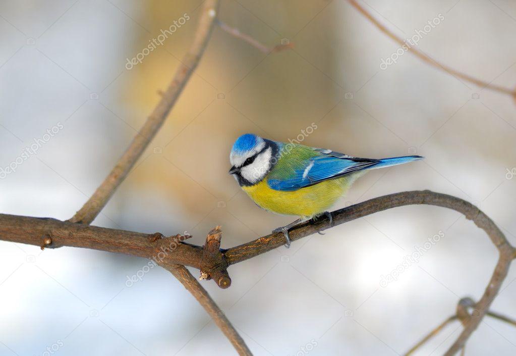 Blue tit Cyanistes caeruleus (Paridae)