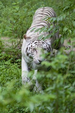 Prowling White Tiger