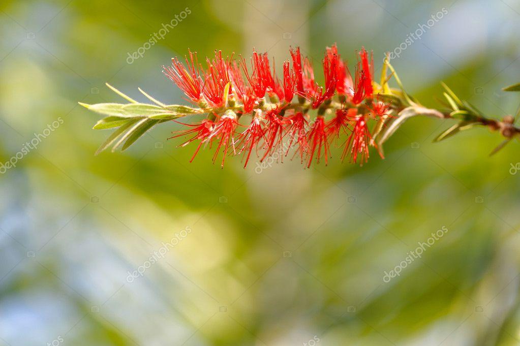 Fleur Rouge De Callistemon Stockfoto C Pascal Kryl 7018904
