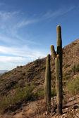 Saguaro kaktusz, a hegyek közelében phoenix