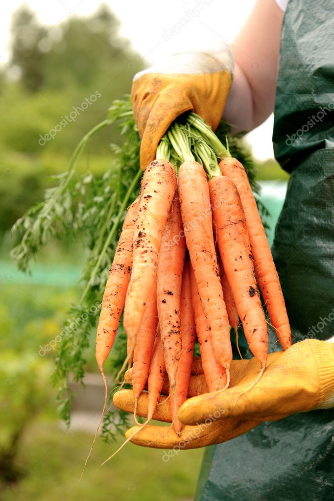 Fresh carrots from vegetable patch