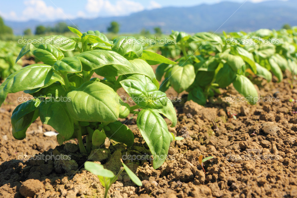 Farmer hands getting basil