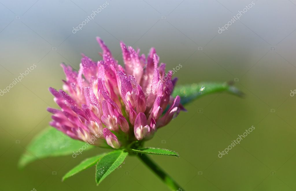 Dew drops on red clover