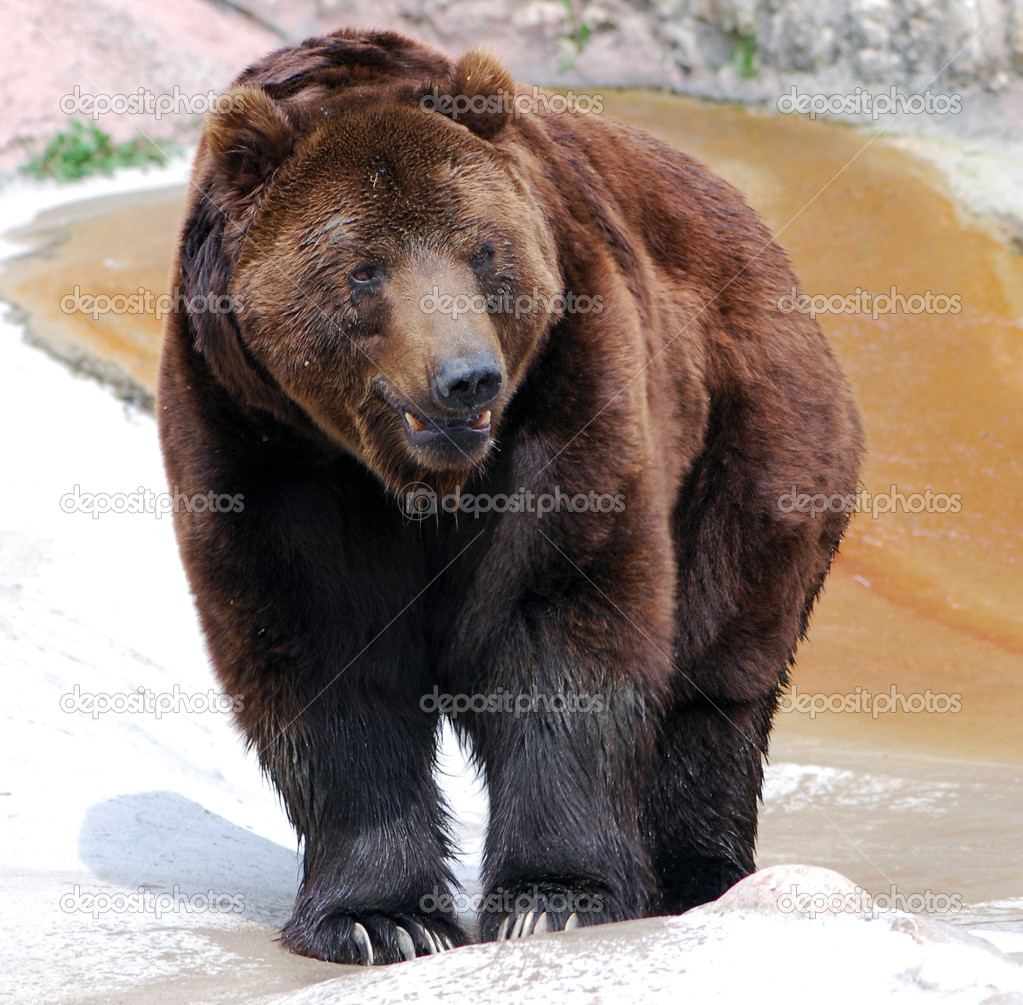 Grizzly bear walking - photo#44