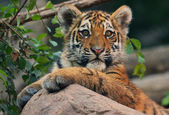 Excited tiger cub