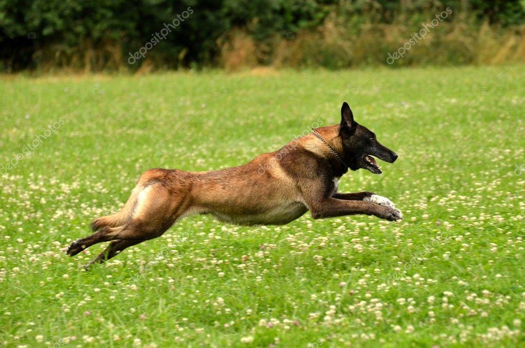 Running belgian shepherd
