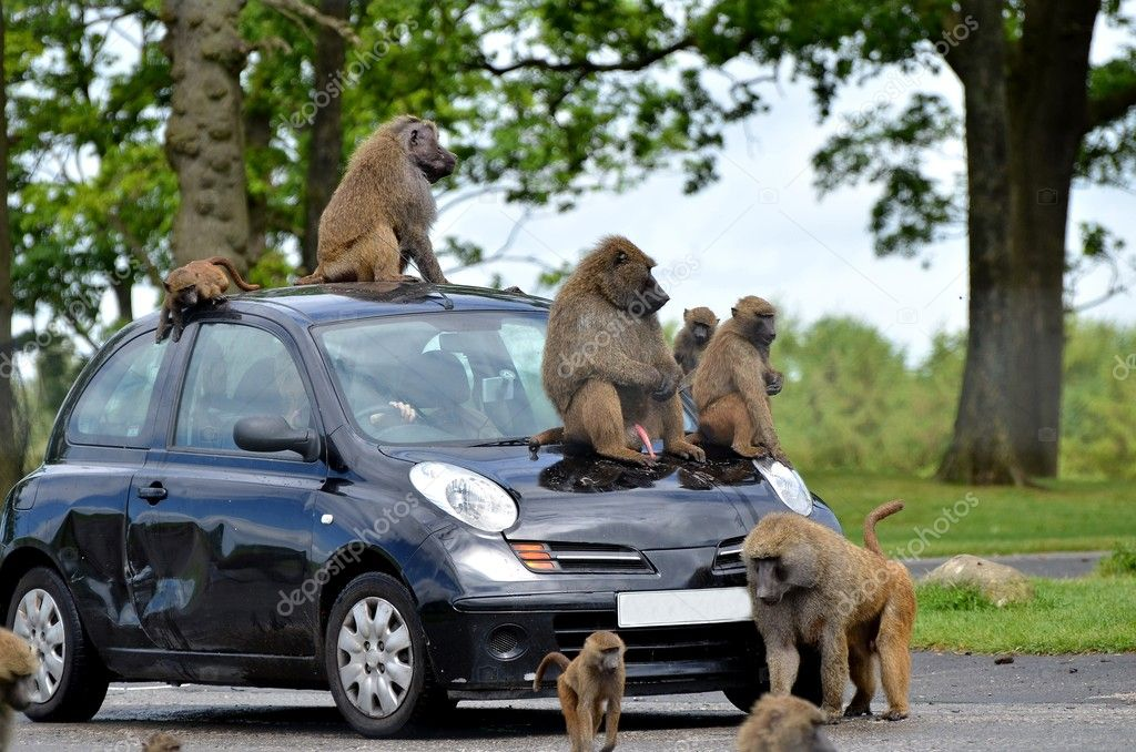 Apes on car