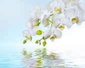 Fotografie krásný bílý květ orchideje phalaenopsis odráží ve vodě s copyspac