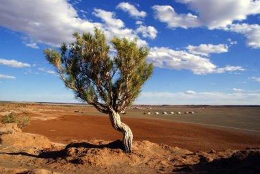 Tree, Gobi desert, Mongolia