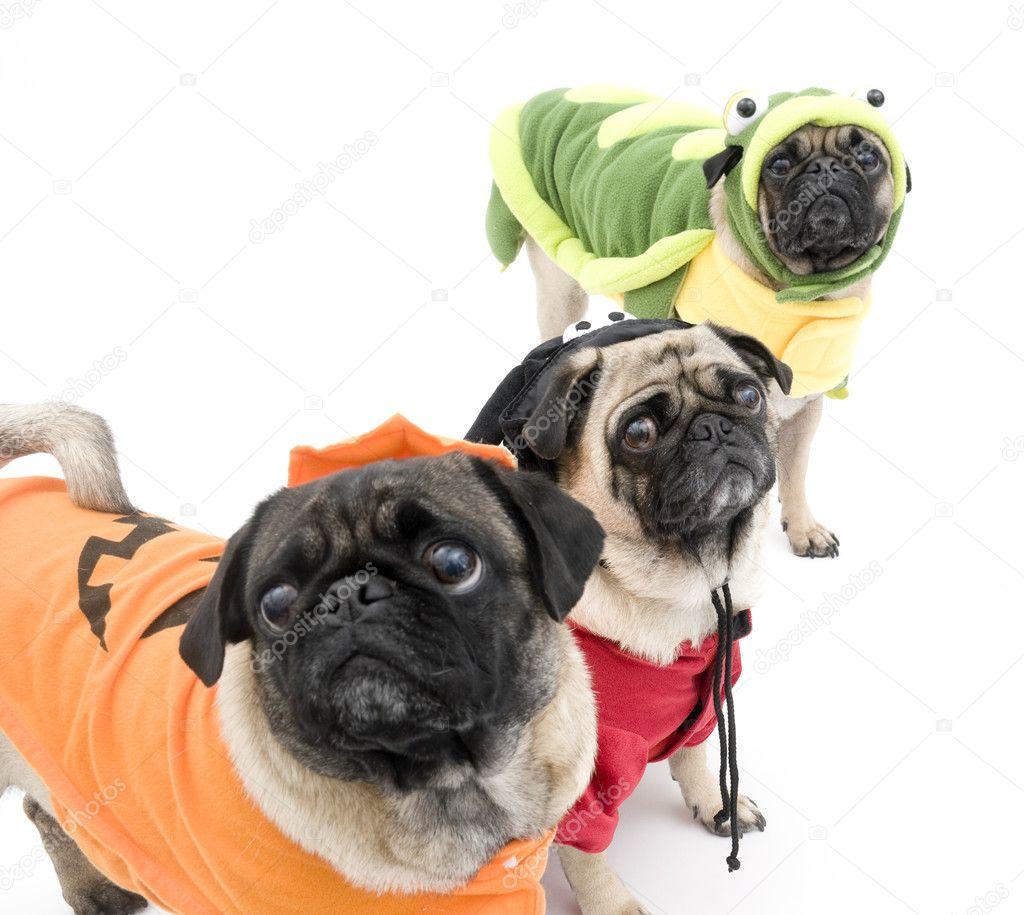 pugs in halloween costumes stock photo 7106406 - Pugs Halloween Costumes