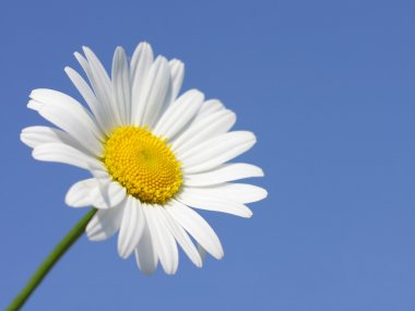 Daisy flower in sunny day