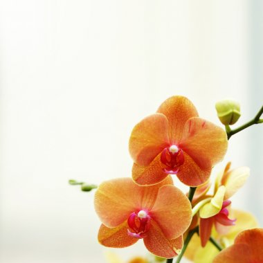 Orange orchid flower