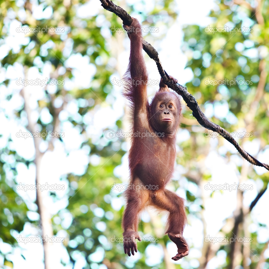 Young orangutan hanging on vine
