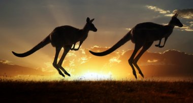 Kangaroo on the sunset