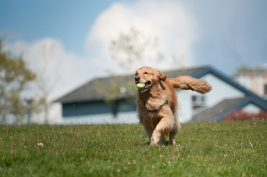 Golden Retriever runs with tennis ball