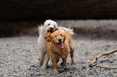 Two dogs run towards camera