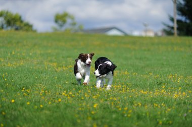 Springer Spaniel Puppies Play in a Field