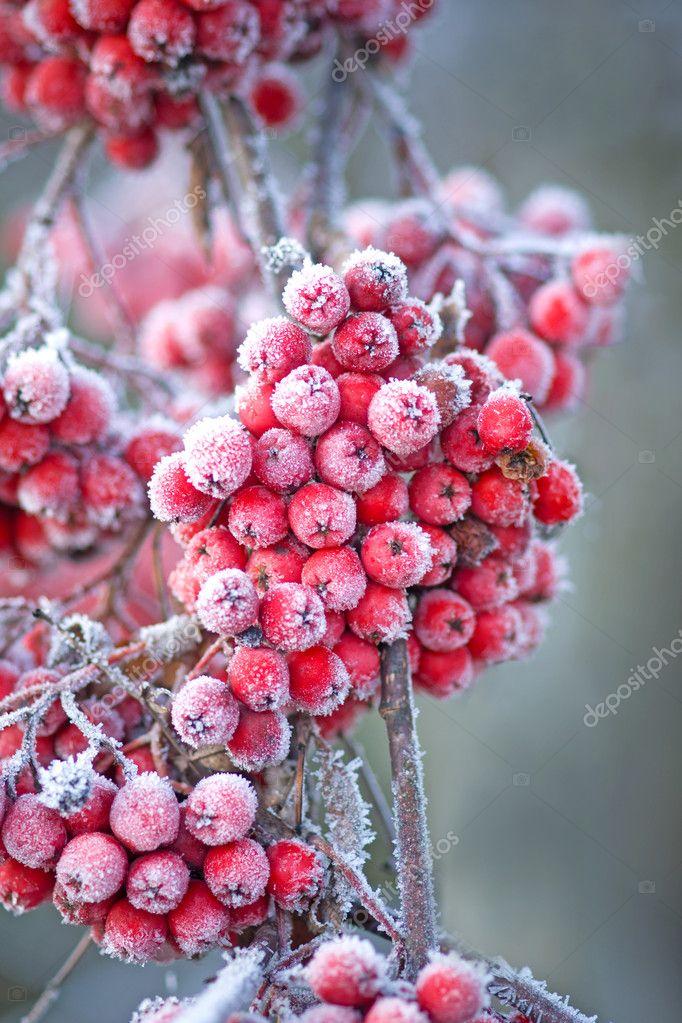 Icy rowan berries