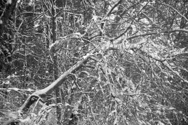 Bare tree in black and white