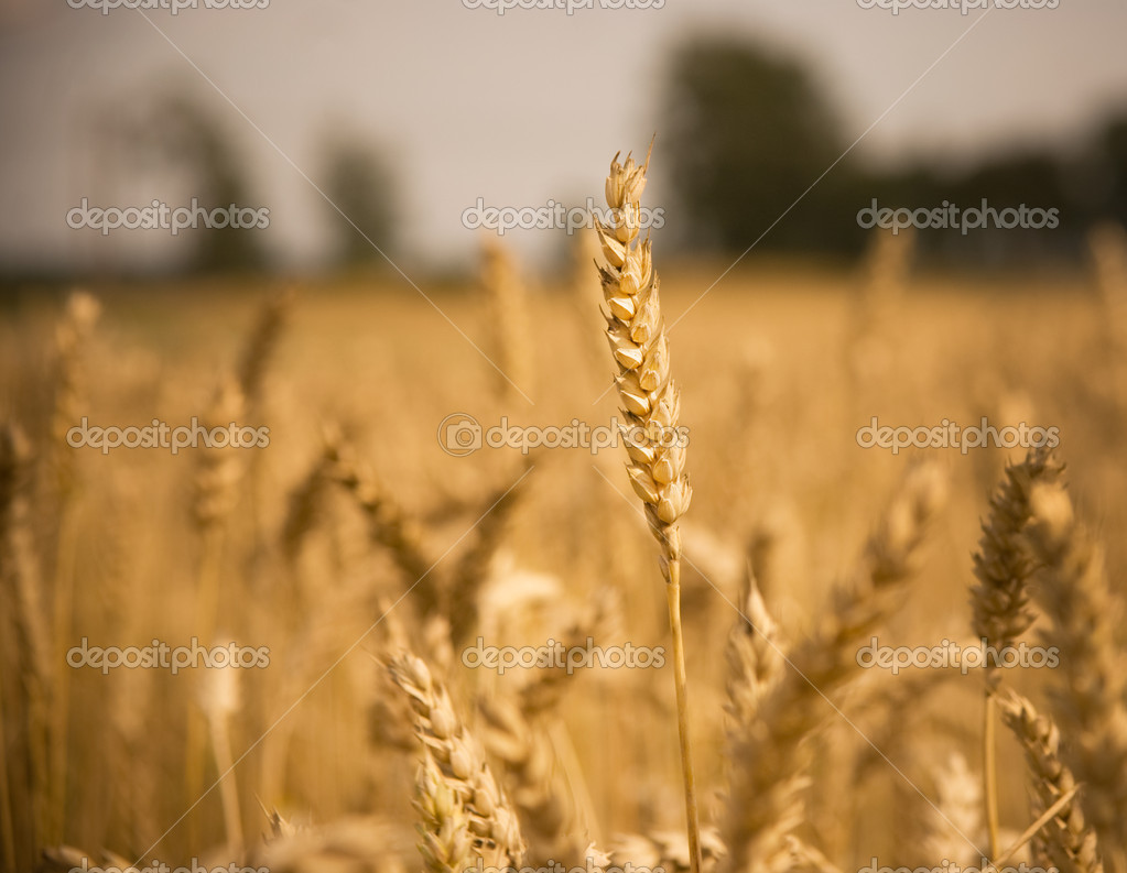 Clopse up of wheat