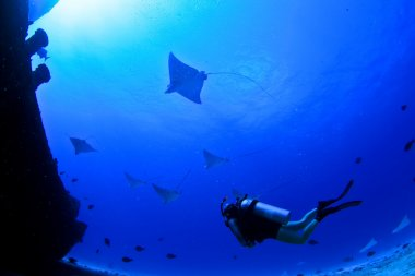 Diver with eagle rays