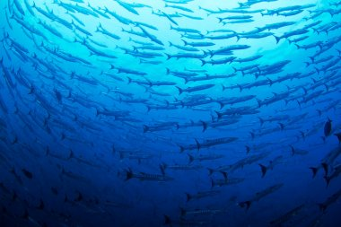 A School of large Pacific ocean Barracuda surround the photographer in Costa Rica. stock vector