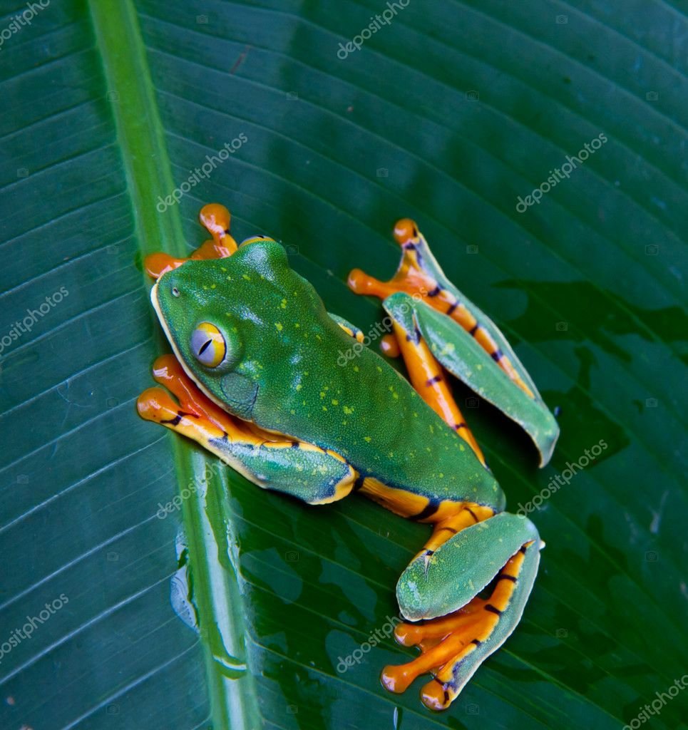 Tiger legged monkey tree frog