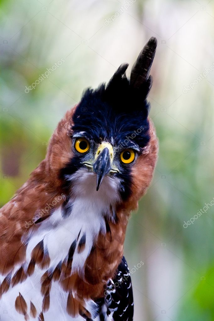 Hawk eagle front