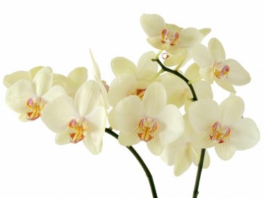 Cream yellow orchids