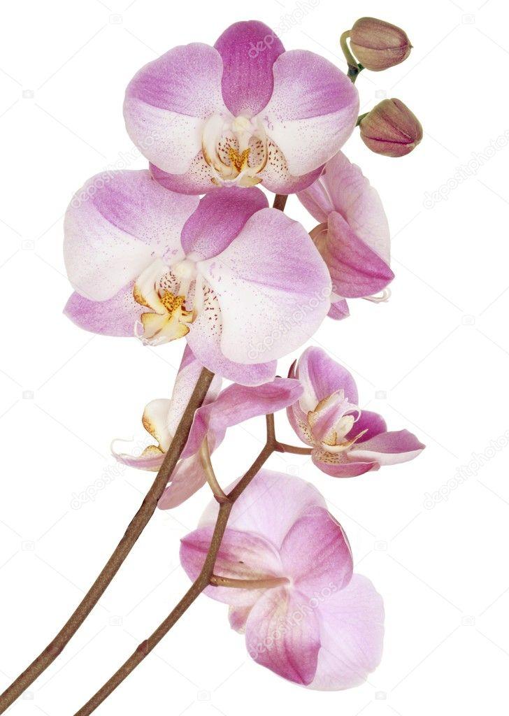 Rosa fiori di orchidea foto stock manka 7502910 for Orchidea prezzo