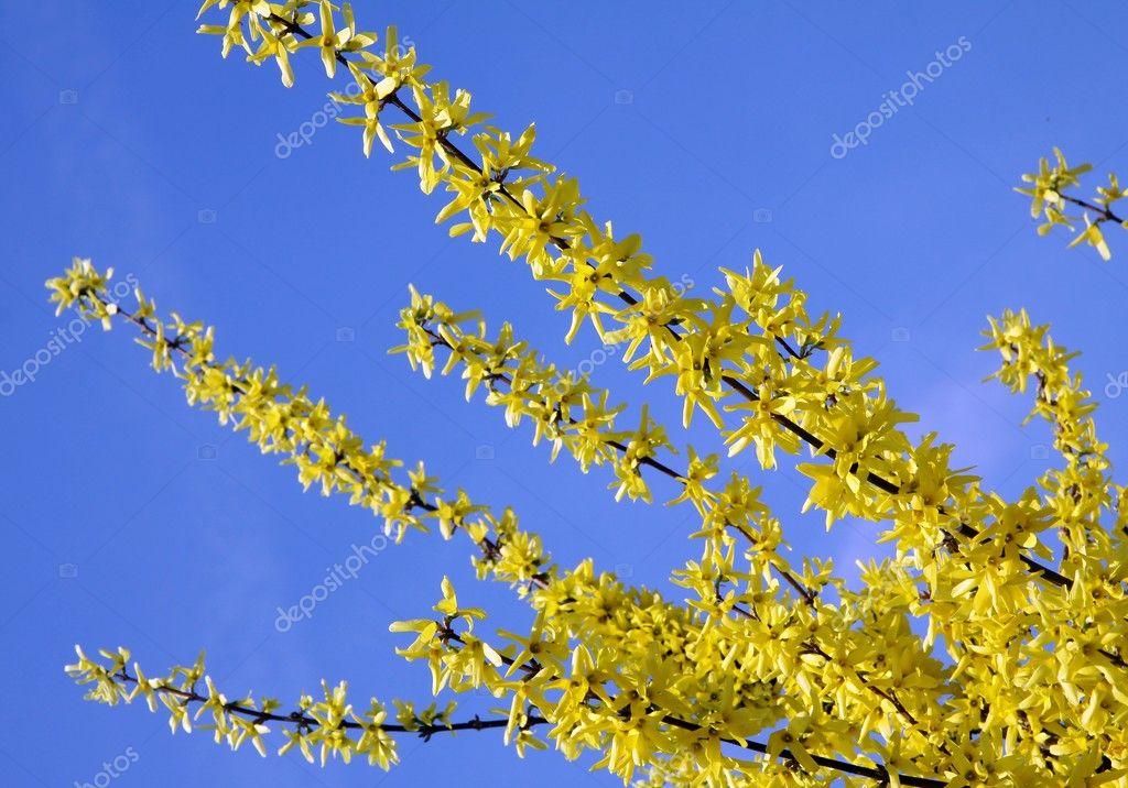 yellow flowers of forsythia bush at spring  stock photo © manka, Natural flower