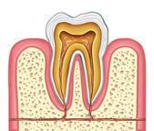 anatomie zdravého lidského zubu