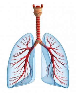 Lungs - pulmonary system. Front view
