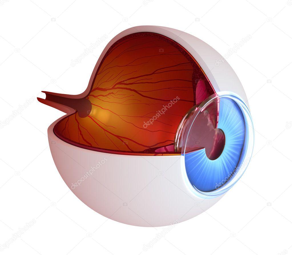 Auge-Anatomie - innere Struktur isoliert auf weiss — Stockfoto ...