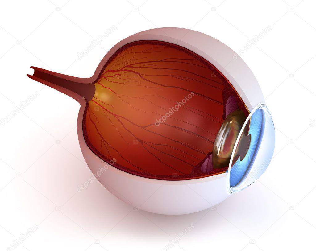 Anatomie des Auges - innere Struktur isoliert auf weiss — Stockfoto ...