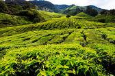 Fotografia platation di tè di cameron highlands
