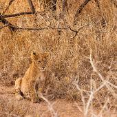 Baby Lev sedící v trávě