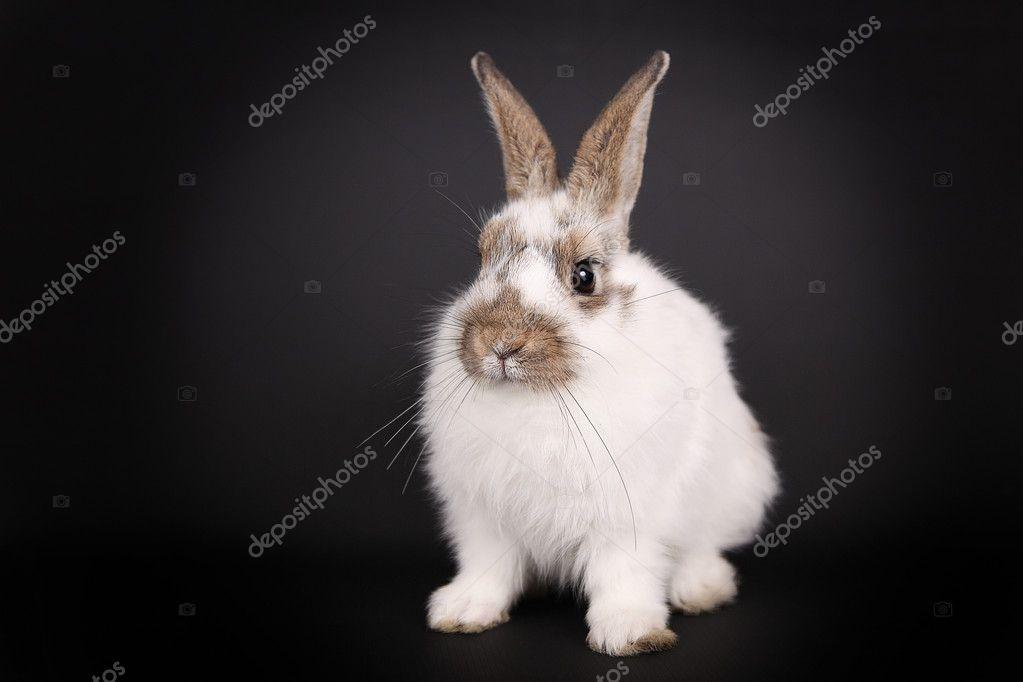 White bunny on black background